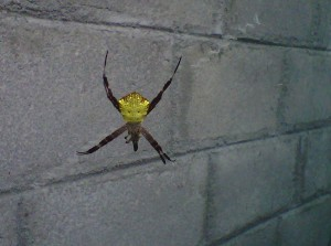 laba-laba bertopeng